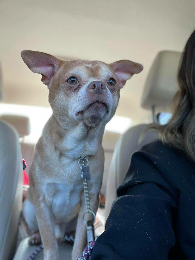 Chihuahua o imieniu Prancer