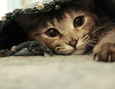 Naukowcy: Twój kot najprawdopodobniej nie będzie lubił cię bardziej niż...
