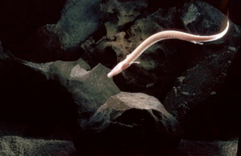 Odmieniec jaskiniowy