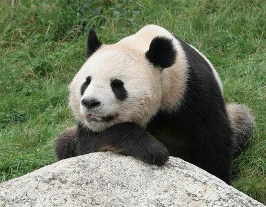 USA: przechytrzyli pandę dla dobra jej dziecka