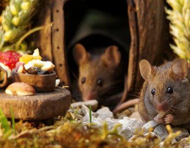 Znalazł myszy w ogrodzie. Wybudował im... miniaturową wioskę