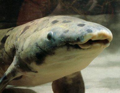 Zdechła najstarsza ryba akwariowa na świecie. Przeżyła ponad 84 lata