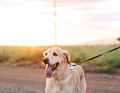 Psy zamiast testów koronawirusa? Zaskakujące wyniki badań