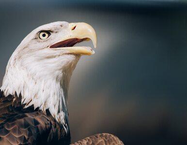 Ośmiornica walczyła z orłem. Pojedynek uchwycono na nagraniu