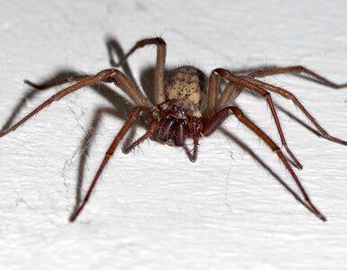 Czy pająki w Polsce są groźne? Wyjaśniamy, czym skutkuje ugryzienie