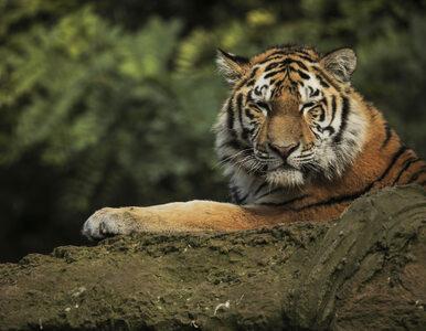 Przeznaczenie, śmierć i ludzie-tygrysy. Tutaj duchowość miesza się z...