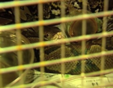 Głodziła w domu 15 węży. Płakała, gdy musiała je oddać