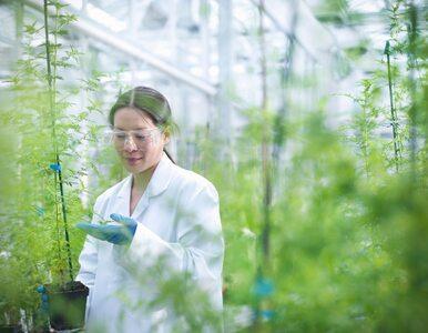 Ekstrakt z tej rośliny zwalcza koronawirusa w tkance płucnej