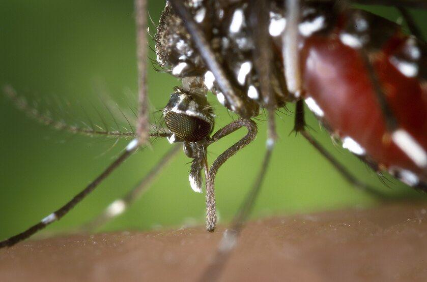 Komar tygrysi – zdjęcie ilustracyjne