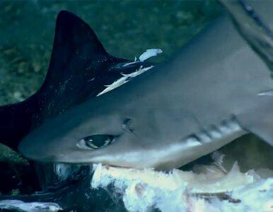 Niezwykłe nagranie z dnia oceanu. Ucztujący rekin został pożarty przez...