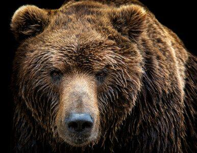 Niedźwiedź zabił turystę w parku narodowym. 42-latek zginął na miejscu
