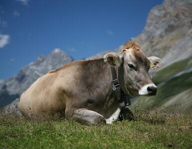 Wegance protestującej przeciwko krowim dzwonkom odmówiono szwajcarskiego...