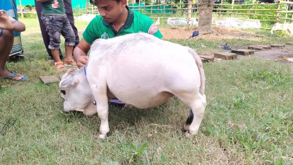 Niezwykła miniaturowa krowa z Bangladeszu
