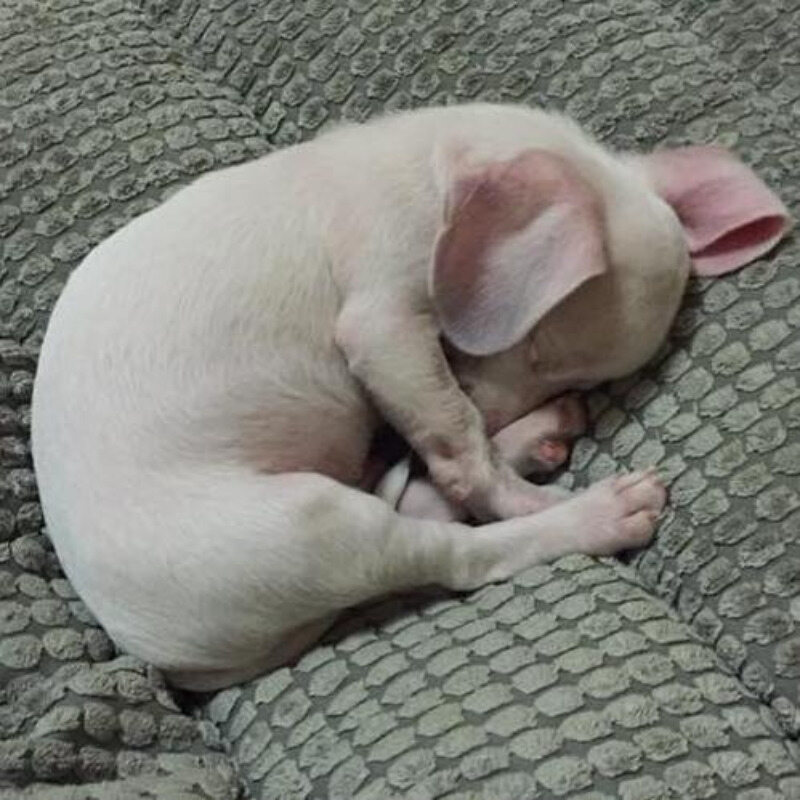 Pies Piglet