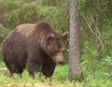 Myśliwy strzelił do niedźwiedzia, zwierzę spadło prosto na niego....