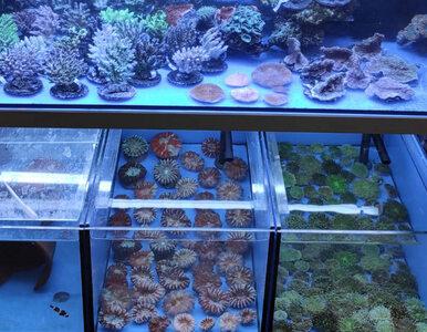 1,5-tonowa przesyłka z koralowcami na Okęciu. Celnicy uratowali 764...