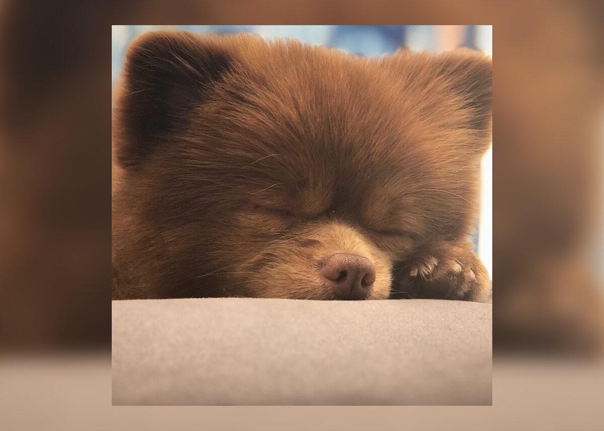 Pomeranian Bertie