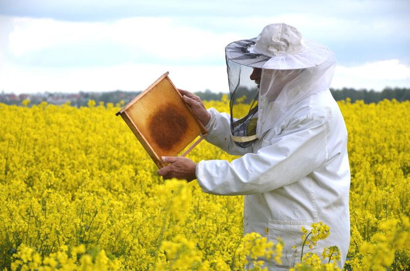 Pszczelarz na polu rzepaku