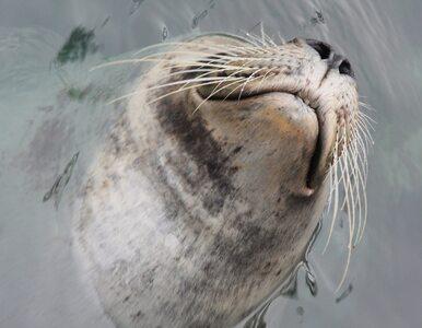 Kolejna martwa foka w Darłówku