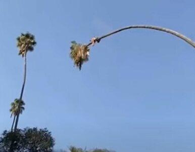 Jak ściąć bardzo wysoką palmę? Tak, żeby wszystkim krew stawała w...