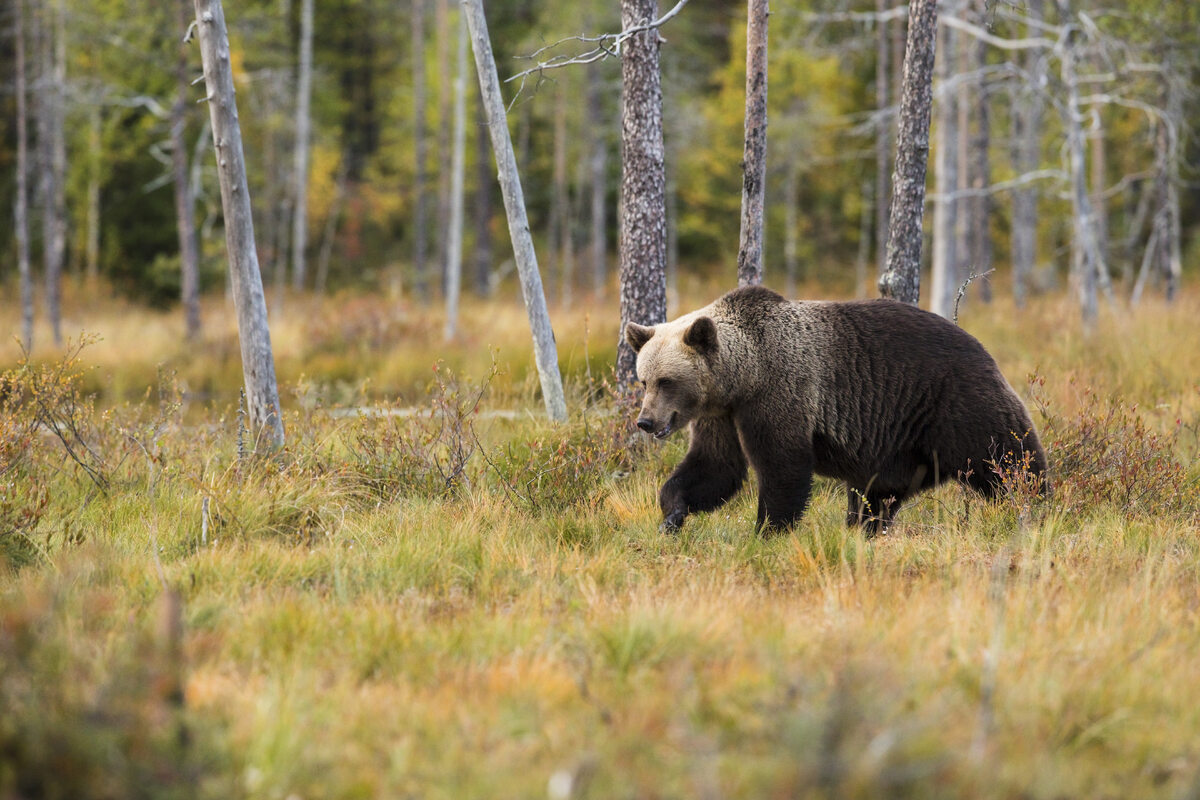 Niedźwiedź brunatny, zdjęcie ilustracyjne black bear near trees