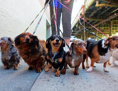 Zakaz spuszczania psów ze smyczy? Wyjaśniamy, o co chodzi z nowymi...