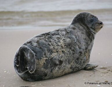 Na polskiej plaży zaobserwowano nerpę. To niezwykle rzadki gość