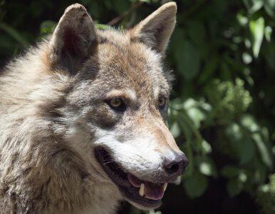 Naukowcy odczytali z genów wilcze tajemnice. Badania pomogą w ochronie...