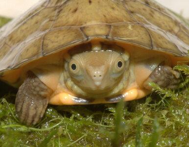 Żółwie czterookie przyszły na świat w USA. Są zagrożone wyginięciem