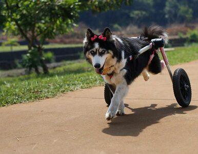 """Miała tylko """"produkować"""" szczeniaki, aż zachorowała i nie mogła chodzić...."""