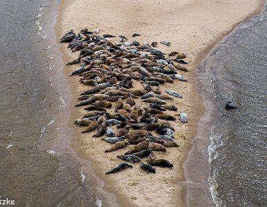 Dziesiątki fok na polskim wybrzeżu. Niezwykłe fotografie z rezerwatu