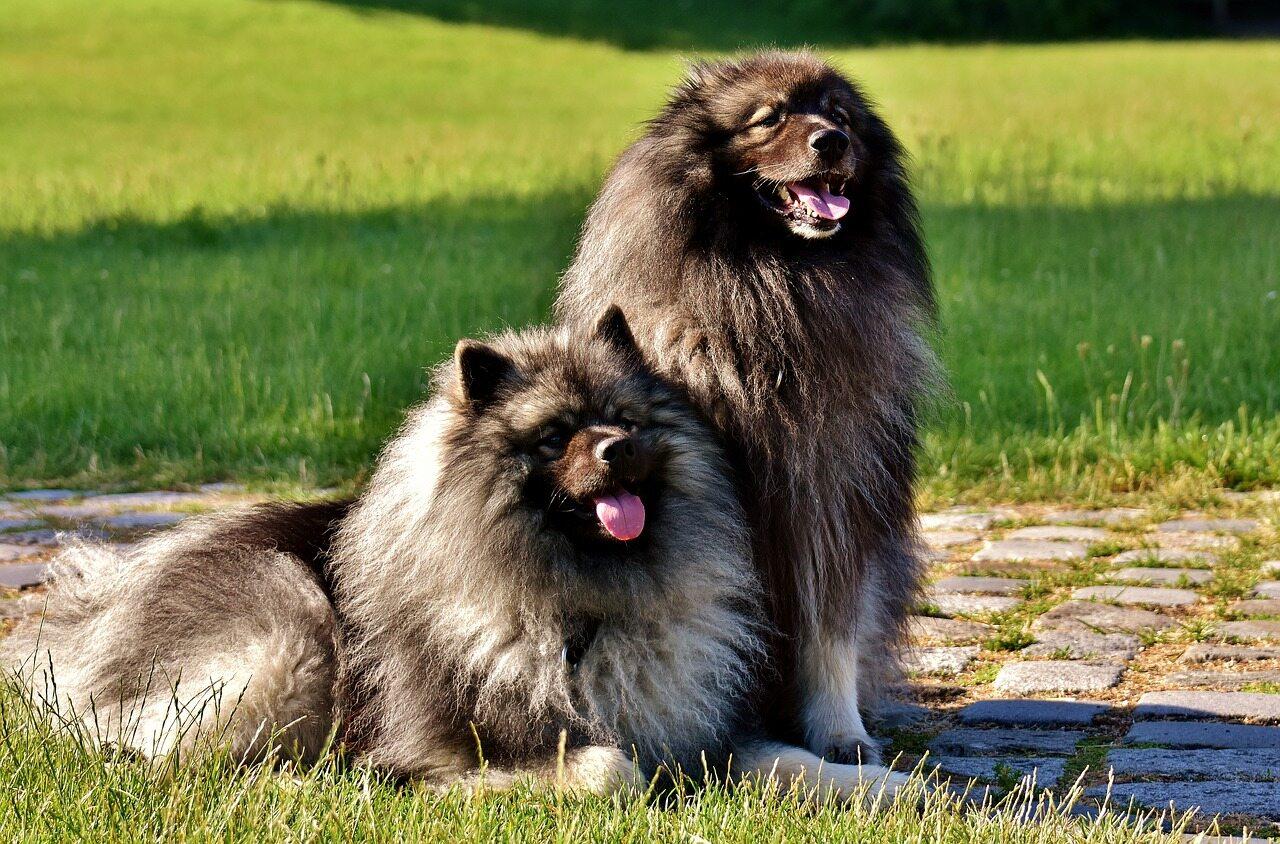 Zdjęcie przedstawia psy rasy: