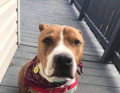 Pies został skradziony i znalazł się setki kilometrów od domu. Pomogli...