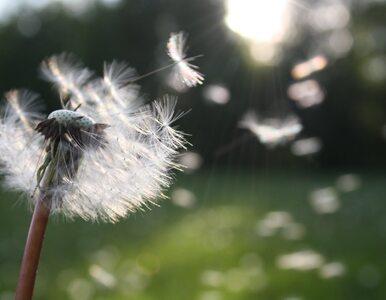 Pyłki mogą zwiększać ryzyko zachorowania na COVID-19, nawet jeśli nie...