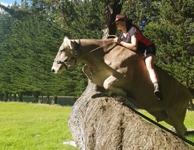 Wytresowała krowę, bo nie miała konia. Zobacz, jak skacze przez przeszkody