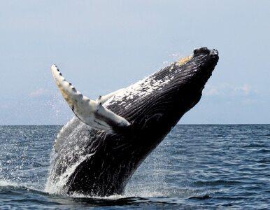 """Mężczyzna został połknięty przez wieloryba. """"Nagle wszystko pociemniało"""""""
