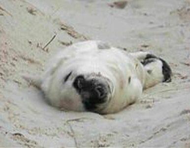 Pierwsza w tym roku mała foka na polskim brzegu