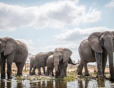 Szokujące odkrycie w Botswanie. Znaleziono ciała ponad 90 słoni