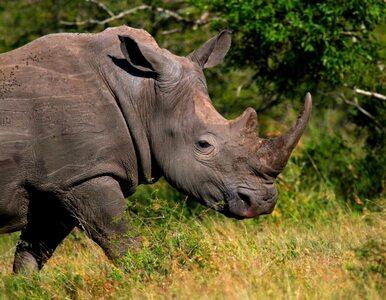 RPA przegrywa walkę z kłusownikami. Nosorożce też