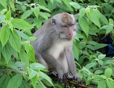Potencjalna szczepionka na COVID-19 skutecznie ochroniła makaki przed...