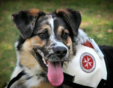Psy śledcze tresowane do wykrywania COVID-19