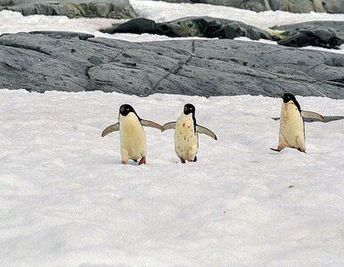 Topniejący lodowiec odsłonił zmumifikowane pingwiny oraz kości mające 5...