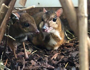 W zoo w Bristolu urodził się myszojeleń. Jest wysokości ołówka