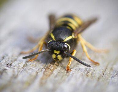 Pszczoła, osa, trzmiel czy może szerszeń. Jak rozpoznać, co nas użądliło?