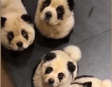 Pofarbowali psy, by wyglądały jak pandy. Obrońcy praw zwierząt oburzeni