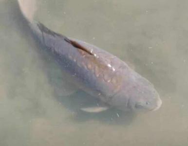 Nie żyje przynosząca szczęście, 22-letnia ryba. Opłakuje ją prezydent:...