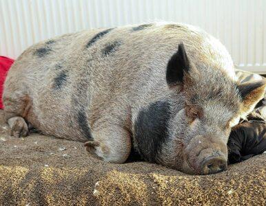 Zaadoptowali miniaturową świnkę, urosła do gigantycznych rozmiarów....