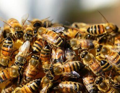Próbował usunąć gniazdo pszczół z ogrodu. Zmarł z powodu licznych użądleń
