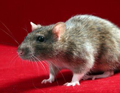 Szczury pogryzły zwłoki w prosektorium?