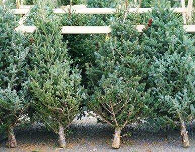 Nie wyrzucaj choinki na śmietnik. Można pozbyć się drzewka w ekologiczny...
